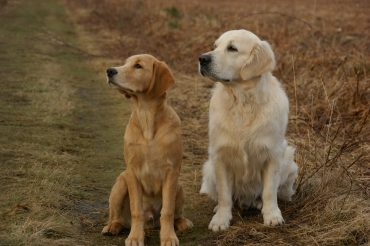 Two Golden Retrievers of different shade, one of the parents of the Golden Cocker Retriever