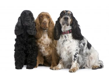 A group of Cocker Spaniels with different coat colors that the Golden Cocker Retriever may inherit