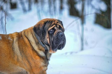 An adult English Mastiff walking in the snow