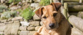 A brown Patterdale Terrier looking at the camera