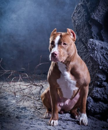 An American Staffordshire Terrier