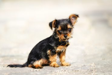 Yorkshire Terrier-Chihuahua mix puppy sitting down