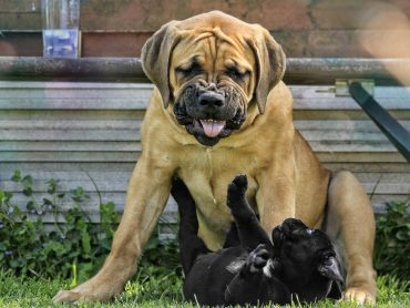 A Boerboel adult and puppy playing