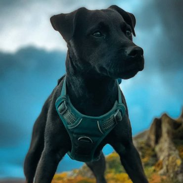 A close-up photo of a black Patterdale Terrier