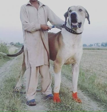 Also known as Pakistani Mastiff, the Bully Kutta is a giant dog