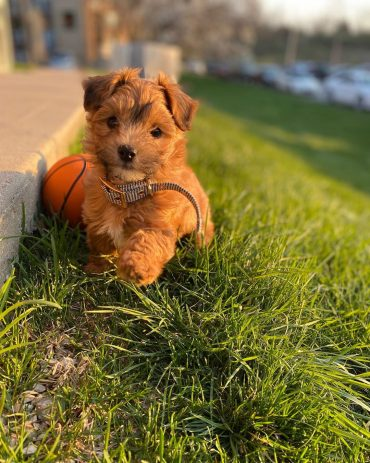 A cute Havapoo puppy playing with a ball