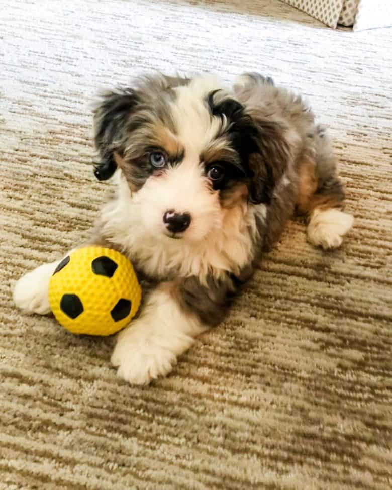 A cute Miniature Bernedoodle puppy holding a ball while looking at the camera