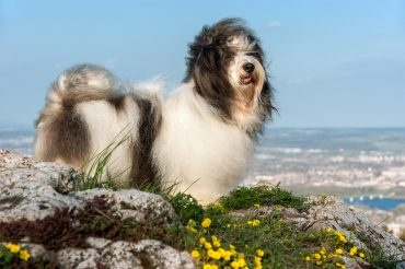 Cute Havanese dog is standing on a rocky mountain in wind, beneath a city landscape