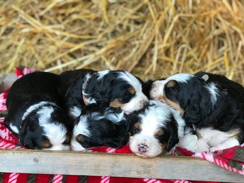 Miniature Bernedoodle puppies or litter