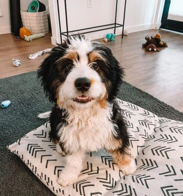Odie, the tricolor Mini Bernedoodle, smiling at the camera