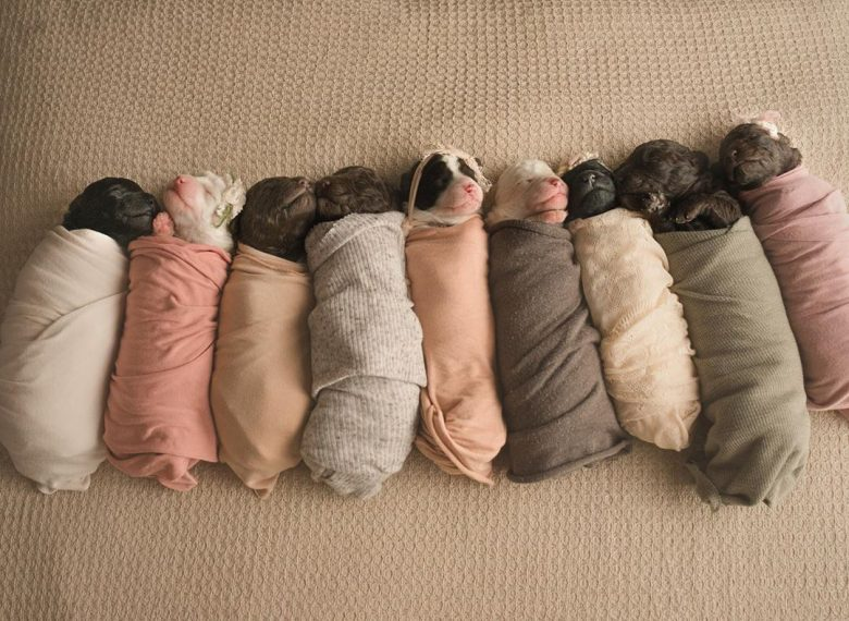 Miniature Labradoodle puppies swaddled