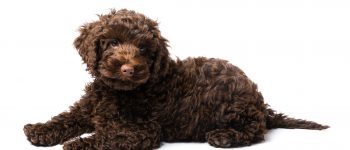 A brown Miniature Labradoodle puppy