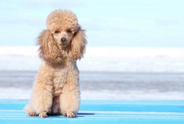 Miniature poodle. Outdoor portrait on the blue sky