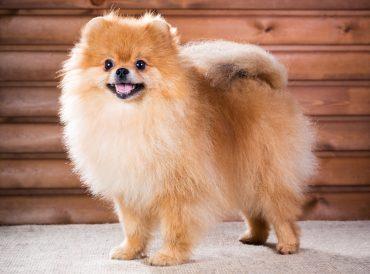 A full-body photo of a Pomeranian