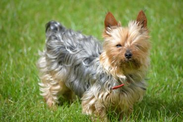 young teacup yorkie dog on the green grass