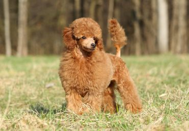 A chocolate-colored Toy Poodle standing on grass