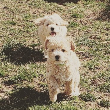 Two Mini Labradoodles running in the backyard
