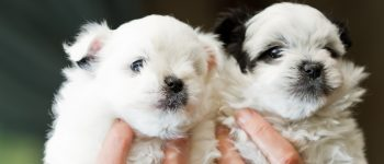 Two Pomapoo puppies being held up by its owner