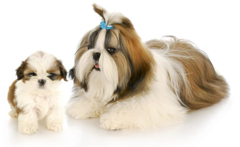 A puppy and a full-grown Shih Tzu