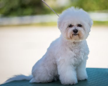One of the Zuchon's parent is the Bichon Frise