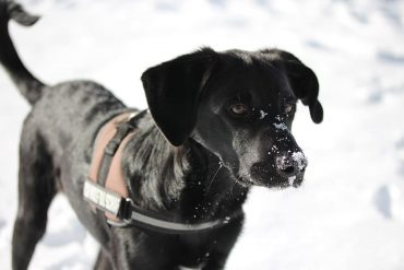 A focused Border Collie Lab mix with a vest in the snow