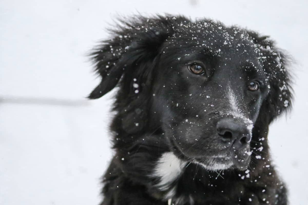 Everything You Need To Know About The Border Collie Lab Mix K9 Web