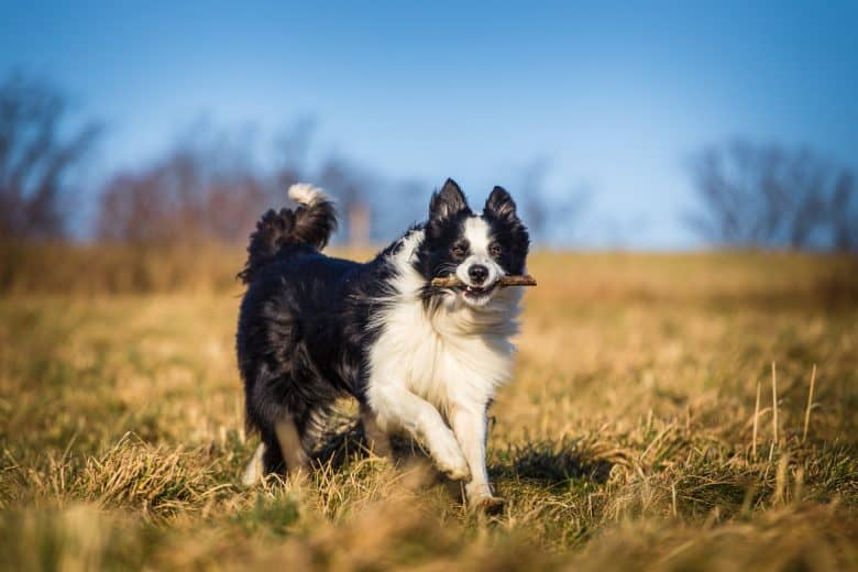 Border Collie running outdoors and fetching a stick