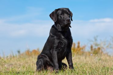 A black Labrador Retriever sitting outdoors