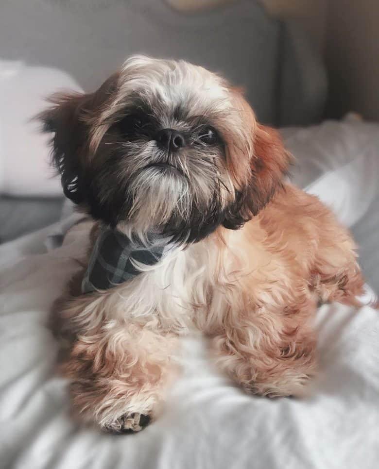 A cute Zuchon named Little Chai