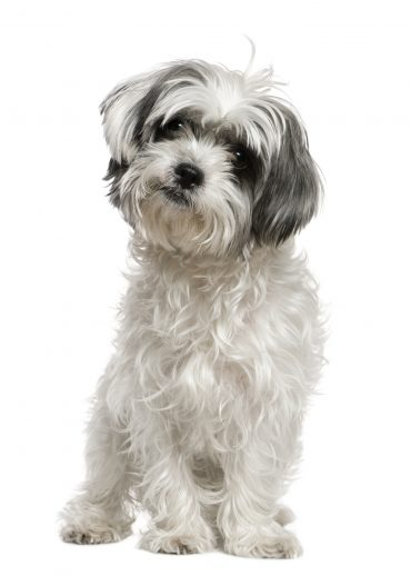 A whole body picture of a full-grown Maltese Shih Tzu mix