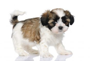 A tricolored Maltese and Shih Tzu mix puppy