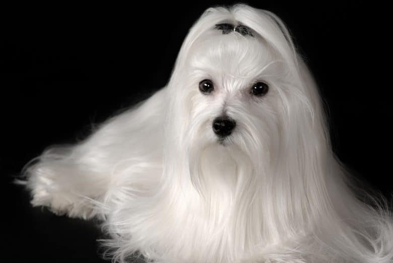 A fully-groomed Maltese dog