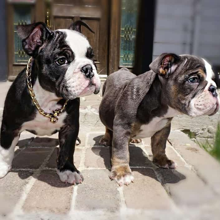 Two Miniature English Bulldog puppies about to enjoy some playtime