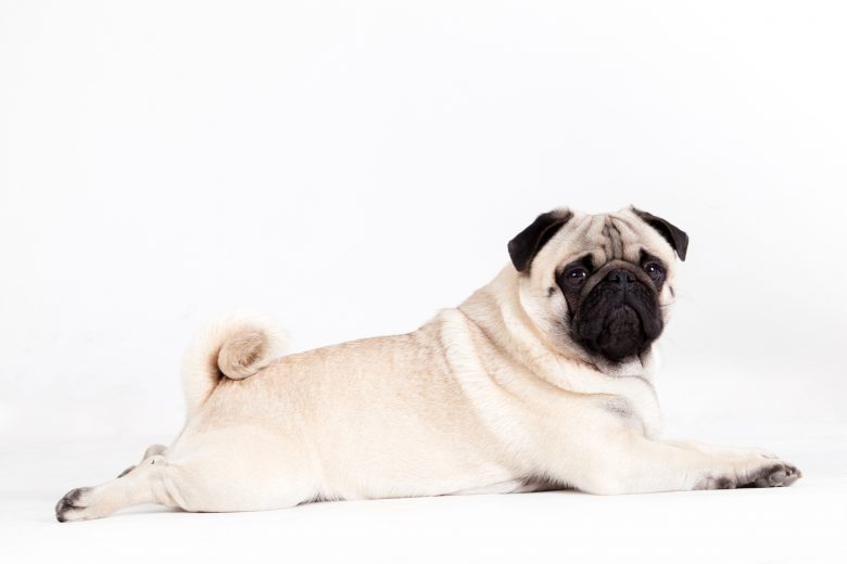 A Pug laying on the floor while looking at the camera