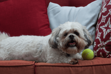 A full-grown Zuchon resting on the couch with its ball
