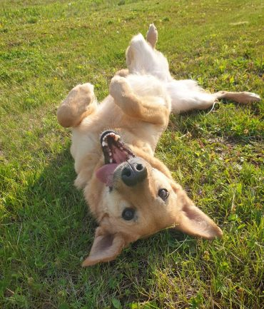 Dita, the German Shepherd Golden Retriever mix having some fun rolling in the grass