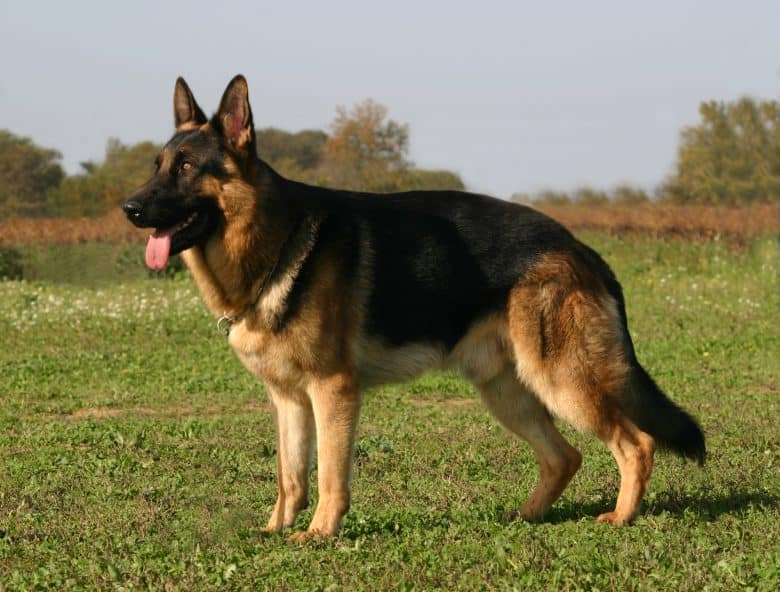 A whole body picture of a purebred German Shepherd (GSD) dog