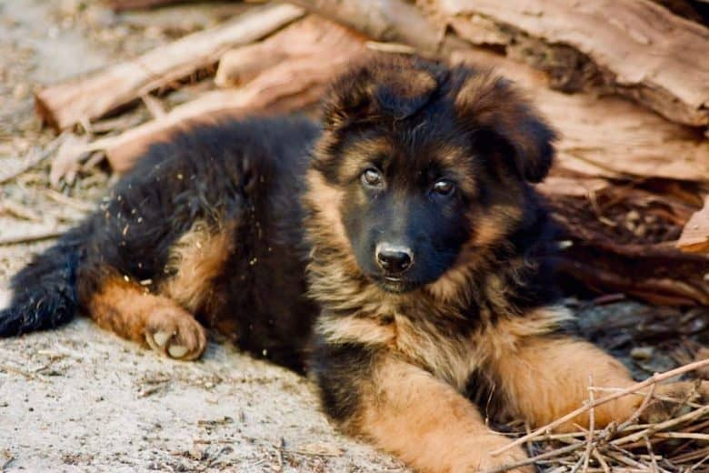 A long-coated German Shepherd Golden Retriever mix puppy