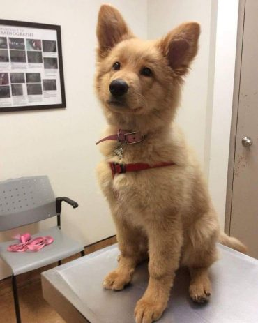 a cute Golden Retriever German Shepherd mix puppy