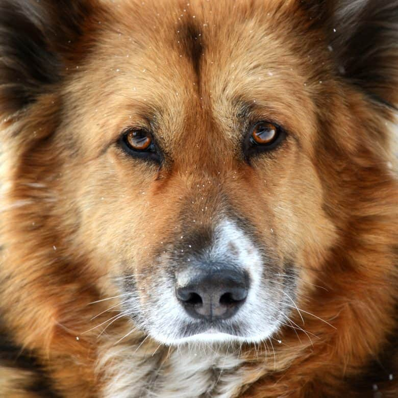 A close-up photo of a Golden Shepherd's face resembling more of a German Shepherd