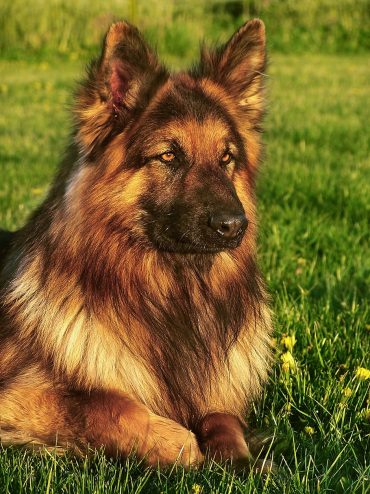 A close-up photo of a glorious-looking King Shepherd dog