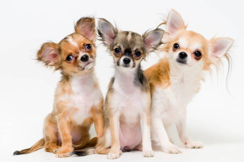 Three Chihuahuas on a white background