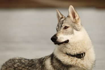 One of the Kunming's parents, a wolfdog