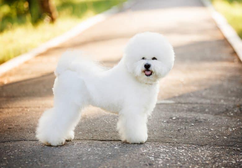 a stark white Bichon Frise standing
