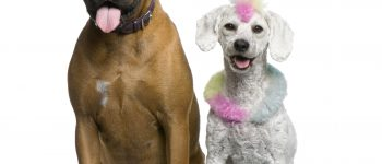 A Boxer and a colored Poodle on a white backround