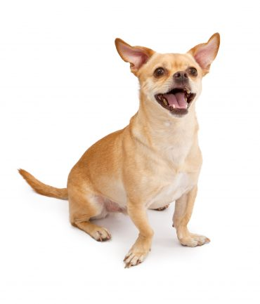 Chihuahua and Pug Mix Dog Smiling