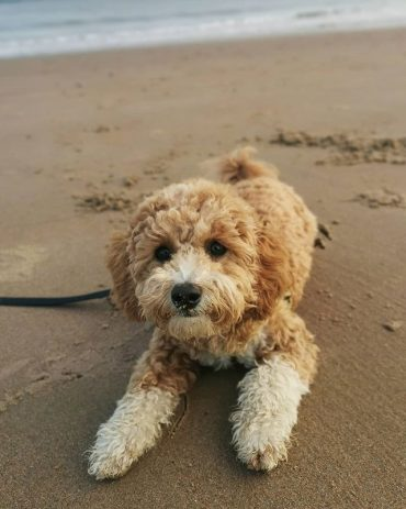 Close up of Bichon Poode mix on the beach