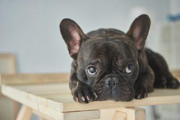 A black French Bulldog with puppy dog eyes