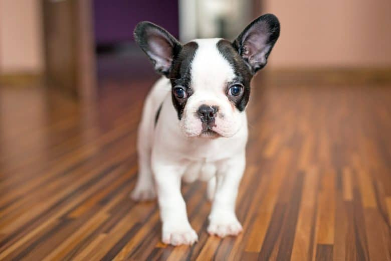 French Bulldog puppy indoors