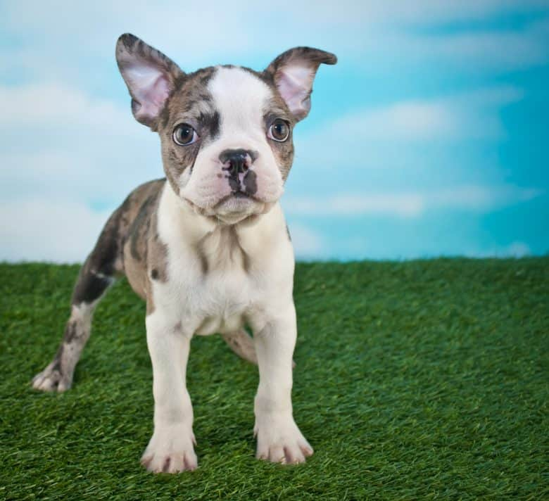 Frenchton puppy standing in the grass with a blue sky behind him